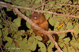 Coppery Brushtail Possum @ Curtain Fig