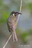 Honeyeater, Lewin's @ Chambers Wildlife