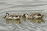 Duck, Pink-eared @ Hasties Swamp