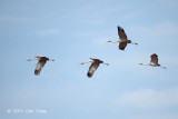 Crane, Sarus @ Marks Lane, Atherton