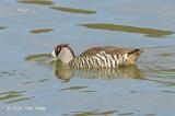 Duck Pink-eared @ Hasties Swamp