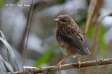 Robin, Grey-headed (juv) @ Chambers Wildlife