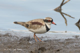 Dotterel, Black-fronted