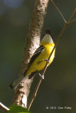 Boatbill, Yellow-breasted