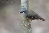 Robin, Grey-headed @ Chambers Wildlife