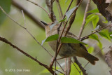 Scrubwren, Large-billed @ Mt Lewis