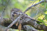Frogmouth, Papuan (male) @ Daintree River
