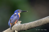 Kingfisher, Azure @ Daintree River