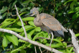 Heron, Great-billed @ Daintree River