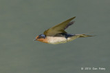 Swallow, Welcome @ Cattana Wetlands