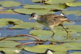 Crake, White-browed @ Cattana Wetlands