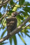 Friarbird, Helmeted @ Cattana Wetlands