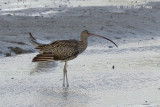 Curlew, Eastern