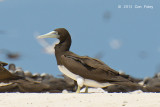 Booby, Brown @ Michaelmas Cay