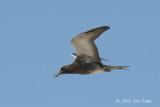 Tern, Sooty (juv) @ Michaelmas Cay