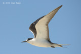 Tern, Sooty @ Michaelmas Cay