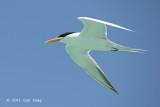 Tern, Lesser-crested (breeding) @ Michaelmas Cay