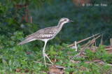 Stone-curlew, Bush @ Cairns cemetery