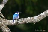 Kingfisher, Forest @ Stewart Creek Rd