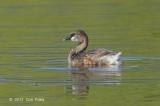 Grebe, Australian @ Cattana Wetlands