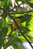 Boatbill, Yellow-breasted @ Stewart Creek Rd