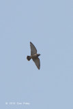 Woodswallow, Ashy @ Chiang Saen