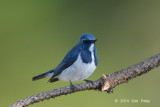 Flycatcher, Ultramarine (male) @ Doi Lang