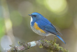 Bluetail, Himalayan (male) @ Doi Lang