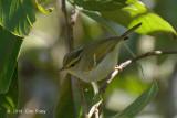 Warbler, White-tailed Leaf @ Doi Lang