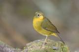 Bush Robin, Golden