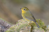 Bush-robin, Golden (female) @ Doi Lang