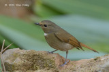 Niltava, Rufous-bellied (female) @ Doi Lang