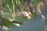Warbler, Aberrant Bush @ Doi Lang