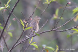 Rosefinch, Common (female) @ Ban Luang