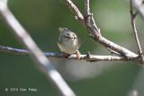 Warbler, White-tailed Leaf @ Ban Luang
