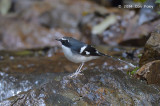 Forktail, Slaty-backed @ Ban Luang