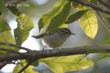 Warbler, Blyth's Leaf @ Doi Ang Khang