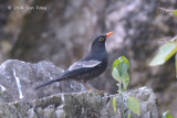 Blackbird, Grey-winged (male) @ Ban Luang
