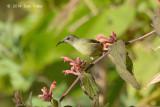 Sunbird, Mrs. Gould's (female) @ Doi Ang Khang