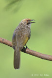 Bulbul, Straw-headed @ Saddle Club