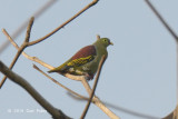 Pigeon, Thick-billed Green (male) @ Halus