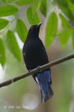 Bluebird, Asian Fairy (male) @ Sime Forest