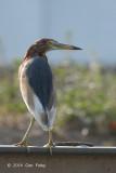 Heron, Chinese Pond (assuming breeding plumage) @ Murai Farmway