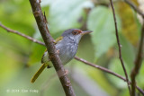 Tailorbird, Rufous-fronted @ PICOP