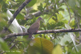 Dove, Short-billed Brown @ PICOP