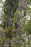 Spiderhunter, Naked Faced (nest) @ PICOP