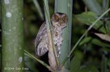 Owl, Everett's Scops @ PICOP