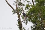 Hornbill, Mindanao Tarictic (pair) @ PICOP