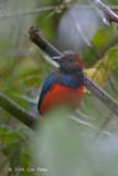 Pitta, Red-bellied @ PICOP