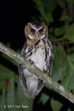 Owl, Giant Scops @ Eden Resort